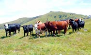 our cattle herd