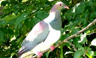 Kereru - Native Wood Pidgeon